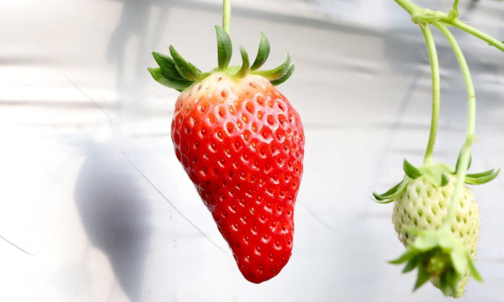 つややかな赤いいちご